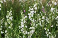 Husmann Heide-Jungpflanzen Daboecia Alba