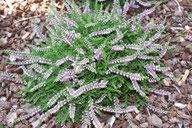 Husmann Heide-Jungpflanzen Calluna Dirry