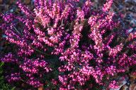 Husmann Heide-Jungpflanzen Erica X Darleyensis Kramer's Rote