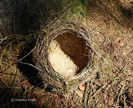 Singdrossel (Turdus philomelos), ©  Mag. Angelika Ficenc, tierspuren.at