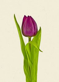 Tulpe (#29), Pigmentdruck auf Hahnemühle Photo Rag 308 g/m²
