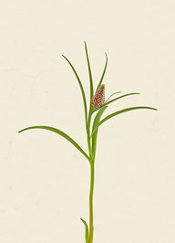 Schachblume (#7), Pigmentdruck auf Hahnemühle Photo Rag 308 g/m²