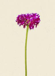 Blume (#5), Pigmentdruck auf Hahnemühle Photo Rag 308 g/m²