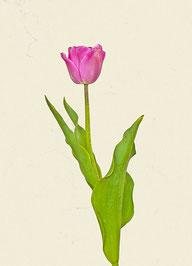 Tulpe (#19), Pigmentdruck auf Hahnemühle Photo Rag 308 g/m²