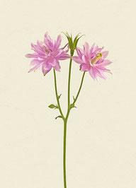 Blume (#50), Pigmentdruck auf Hahnemühle Photo Rag 308 g/m²