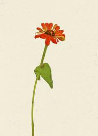 Blume (#12), Pigmentdruck auf Hahnemühle Photo Rag 308 g/m²