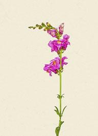 Blume (#20), Pigmentdruck auf Hahnemühle Photo Rag 308 g/m²