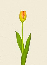 Tulpe (#10), Pigmentdruck auf Hahnemühle Photo Rag 308 g/m²