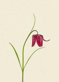 Schachblume (#14), Pigmentdruck auf Hahnemühle Photo Rag 308 g/m²