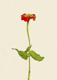 Blume (#7), Pigmentdruck auf Hahnemühle Photo Rag 308 g/m²