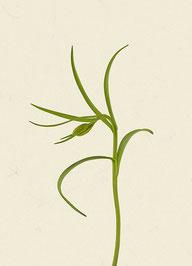 Schachblume (#2), Pigmentdruck auf Hahnemühle Photo Rag 308 g/m²