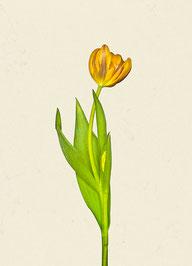 Tulpe (#21), Pigmentdruck auf Hahnemühle Photo Rag 308 g/m²