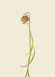 Schachblume (#22), Pigmentdruck auf Hahnemühle Photo Rag 308 g/m²