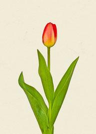 Tulpe (#8), Pigmentdruck auf Hahnemühle Photo Rag 308 g/m²