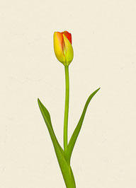 Tulpe (#12), Pigmentdruck auf Hahnemühle Photo Rag 308 g/m²