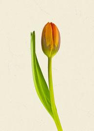 Tulpe (#28), Pigmentdruck auf Hahnemühle Photo Rag 308 g/m²