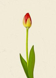 Tulpe (#6), Pigmentdruck auf Hahnemühle Photo Rag 308 g/m²