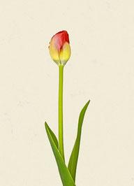 Tulpe (#5), Pigmentdruck auf Hahnemühle Photo Rag 308 g/m²