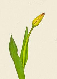 Tulpe (#2), Pigmentdruck auf Hahnemühle Photo Rag 308 g/m²