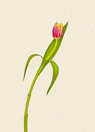 Tulpe (#15), Pigmentdruck auf Hahnemühle Photo Rag 308 g/m²