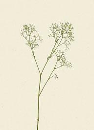Pflanze (#4), Pigmentdruck auf Hahnemühle Photo Rag 308 g/m²