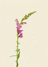 Blume (#19), Pigmentdruck auf Hahnemühle Photo Rag 308 g/m²
