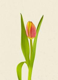 Tulpe (#14), Pigmentdruck auf Hahnemühle Photo Rag 308 g/m²