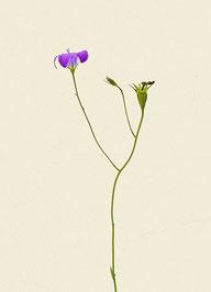 Blume (#42), Pigmentdruck auf Hahnemühle Photo Rag 308 g/m²