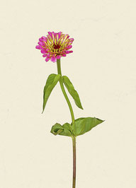 Blume (#9), Pigmentdruck auf Hahnemühle Photo Rag 308 g/m²