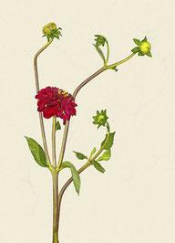 Blume (#1), Pigmentdruck auf Hahnemühle Photo Rag 308 g/m²