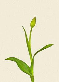 Tulpe (#31), Pigmentdruck auf Hahnemühle Photo Rag 308 g/m²