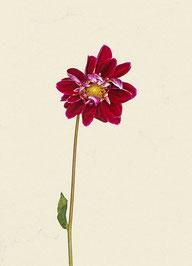Blume (#6), Pigmentdruck auf Hahnemühle Photo Rag 308 g/m²