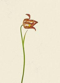 Schachblume (#18), Pigmentdruck auf Hahnemühle Photo Rag 308 g/m²
