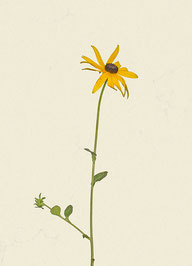 Blume (#32), Pigmentdruck auf Hahnemühle Photo Rag 308 g/m²