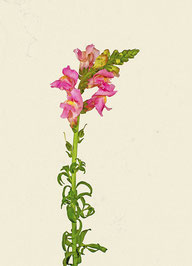 Blume (#18), Pigmentdruck auf Hahnemühle Photo Rag 308 g/m²