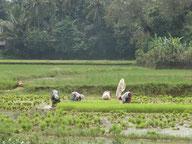 A parcourir les champs de riz