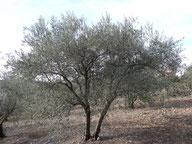 Un arbre taillé à hauteur d'homme