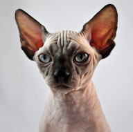 Sphynx cat for sale