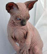 Sphynx Cats Breeder NY