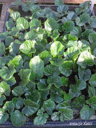 mlade sadnice Acanthusa