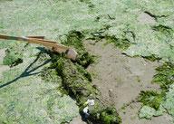海藻回収の様子