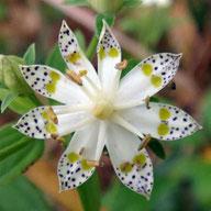 多重咲きのアケボノソウ