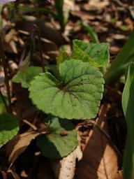 アカフタチツボスミレの葉