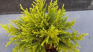 Husmann Heide-Jungpflanzen Hebe Golden Nugget
