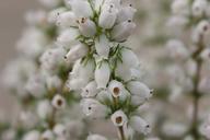 Husmann Heide-Jungpflanzen Erica Cinera Alba Major