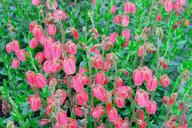 Husmann Heide-Jungpflanzen Daboecia Andrea
