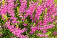 Husmann Heide-Jungpflanzen Calluna Carmen