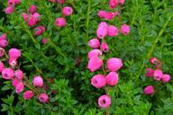 Husmann Heide-Jungpflanzen Daboecia Angelina