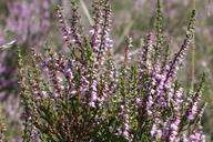 Husmann Heide-Jungpflanzen Wildheide Calluna