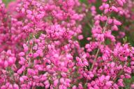Husmann Heide-Jungpflanzen Erica Cinera Coccinea